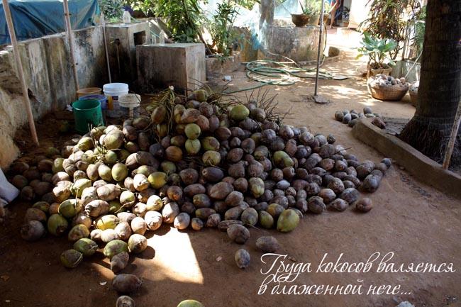 груда кокосов индия