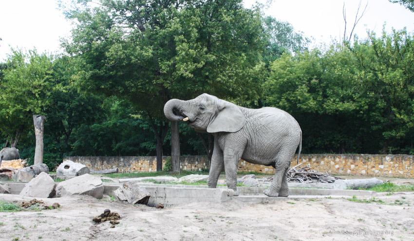 слон в зоопарке