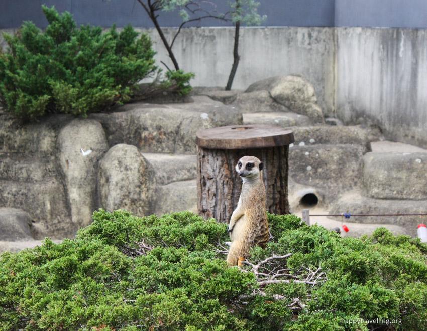 суррикат в зоопарке